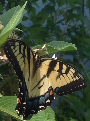 monarch milkweed rock river trail