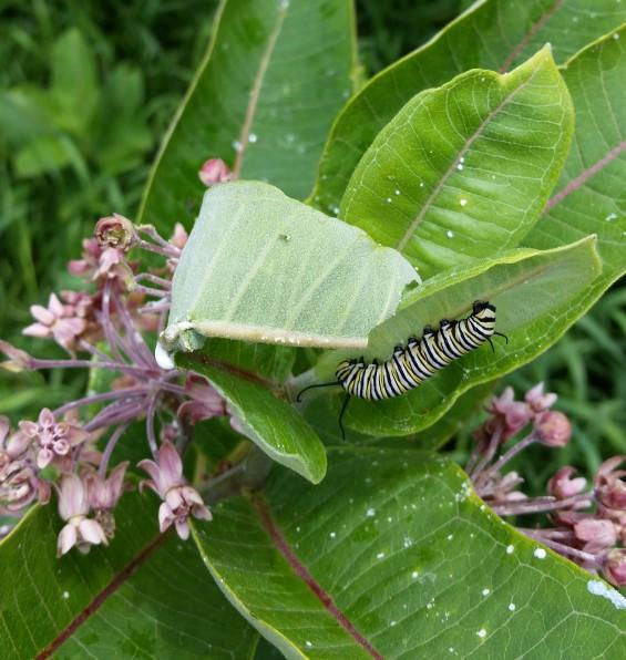 monarch milkweed rock river trail photo credit therese oldenburg (Custom)