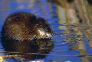Muskrats, Mink & Other Marsh Mammals @ Friends of Horicon Marsh Education and Visitor Center   Horicon   Wisconsin   United States